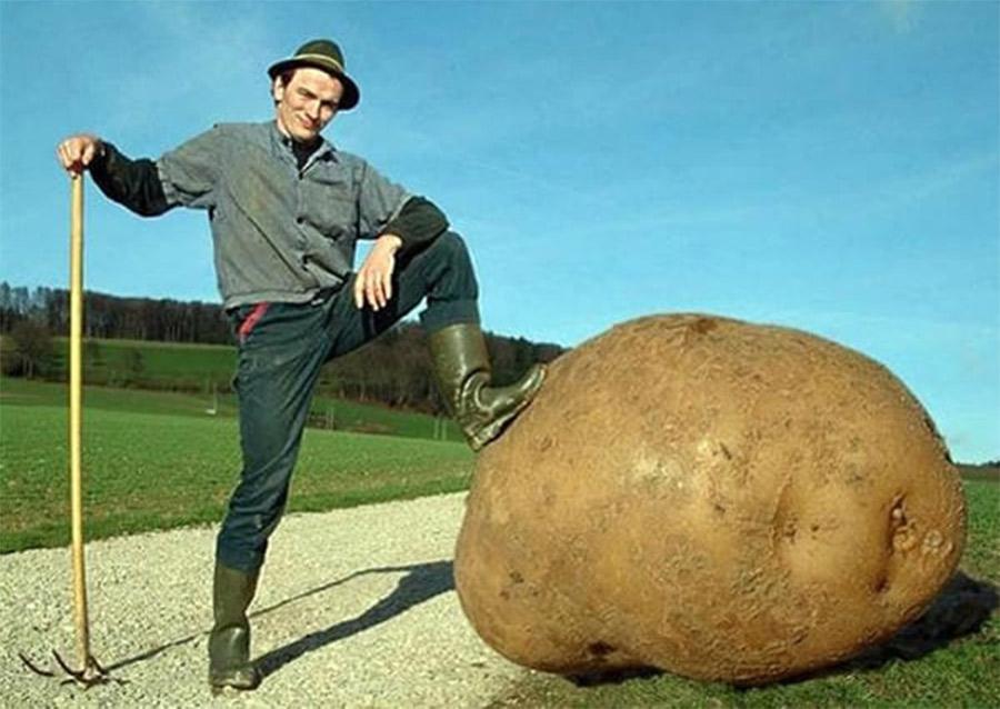 A maior batata do mundo