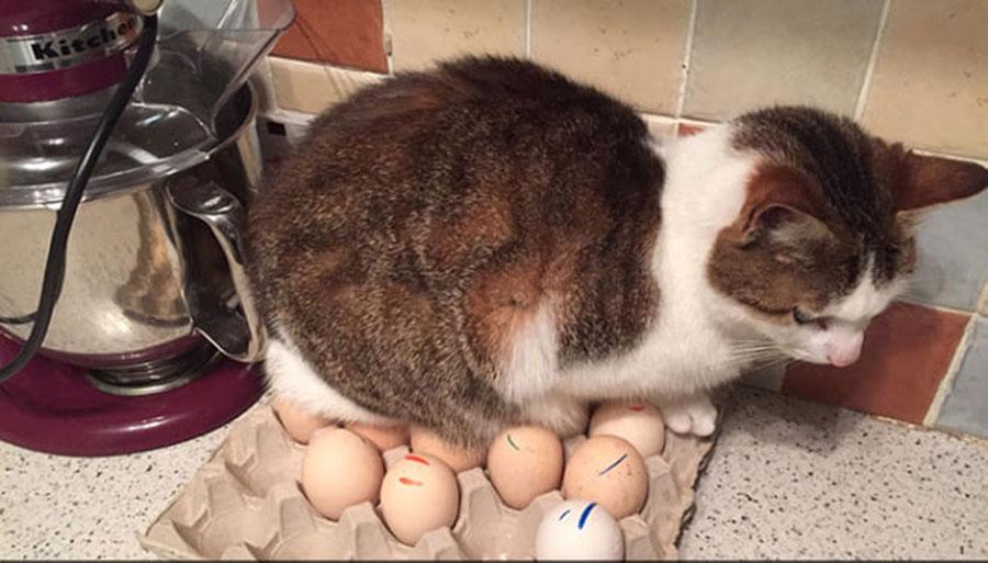 Gato a chocar ovos