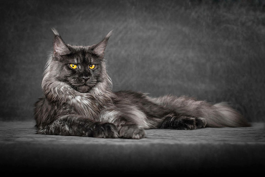 gato_barbas - Maine Coon